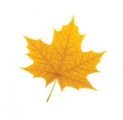Laurier golden leaf (2016)
